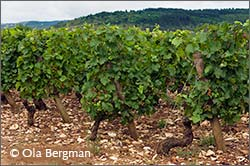 Monthelie vines, Burgundy.